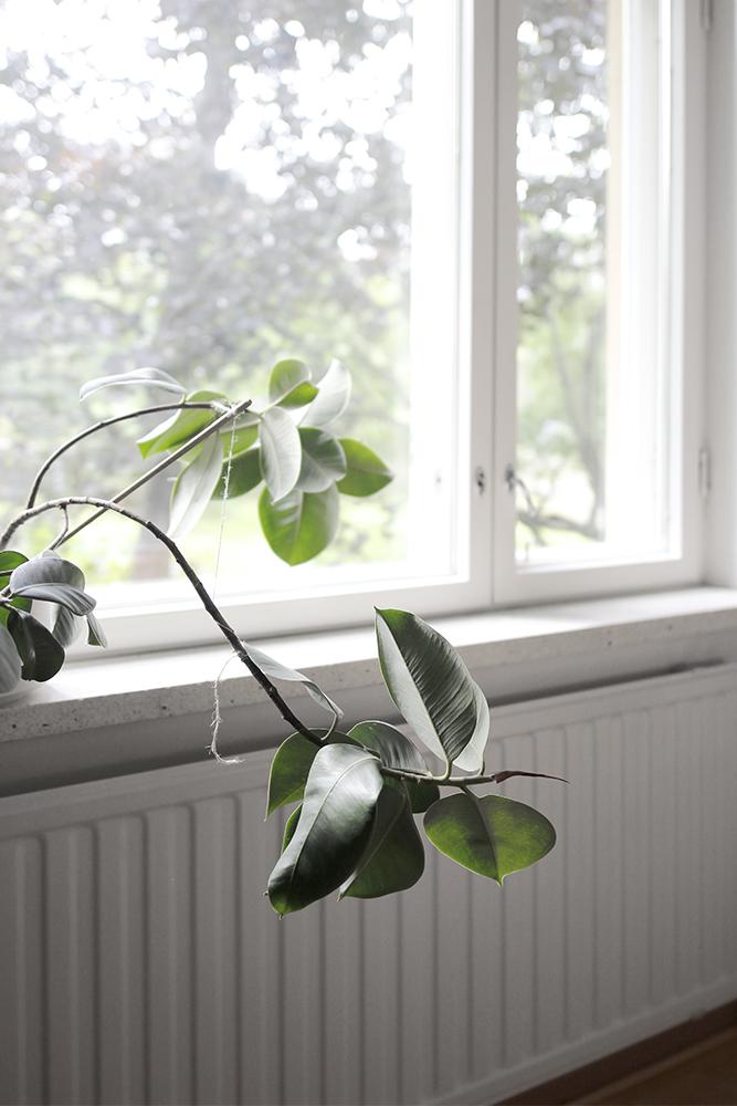 ikkuna_fiikus