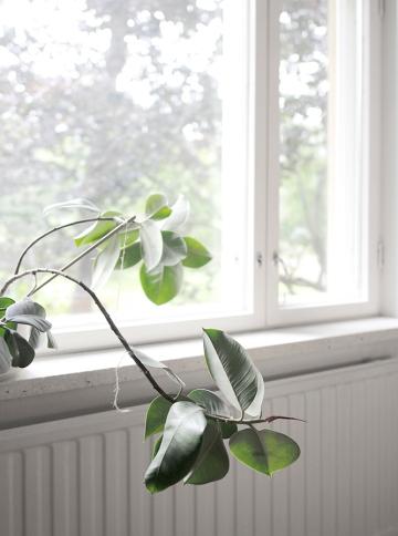 ikkuna_fiikus_thumb