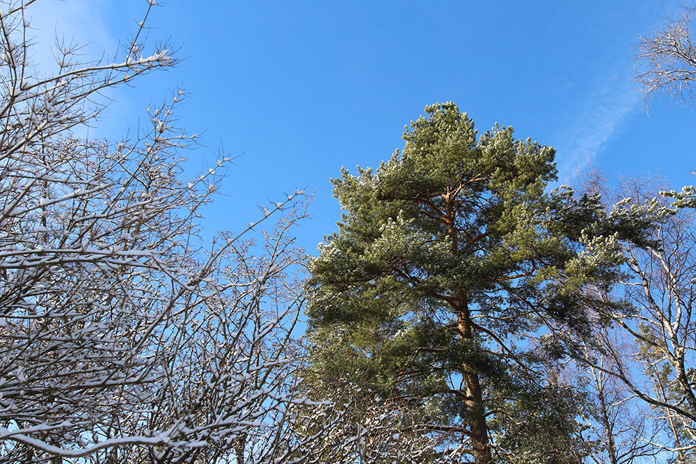 puunlatva